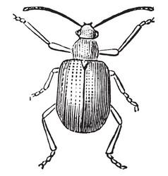 grape rootworm beetle vintage vector image