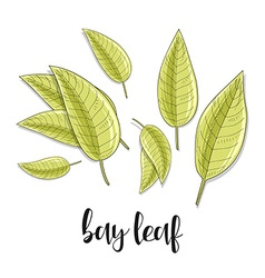Bay leaves isolated object sketch Spice for food vector image
