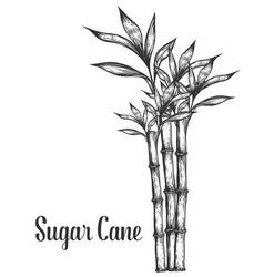 Sugar Cane Plant vector