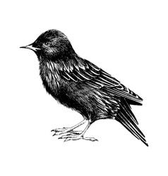 hand drawn starling vector image vector image