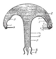Anthomedusae vintage vector