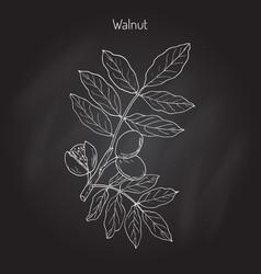 walnut branch juglans regia vector image
