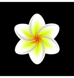 Frangipani flower isolated vector
