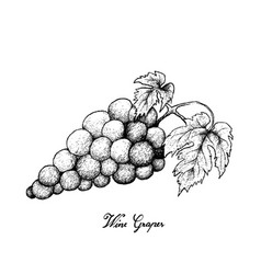 hand drawing of fresh juicy red grapes vector image