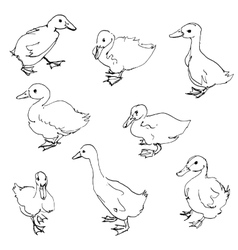 Sketch of ducklings vector