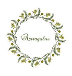 Wreath milkvetch astragalus medicinal plant vector