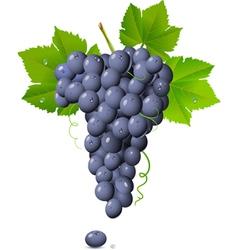 vineyard grapes vector image