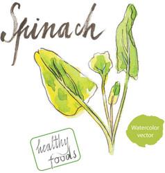 Watercolor spinach vector