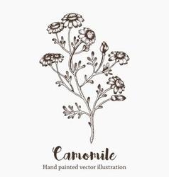 Camomile Plant vector