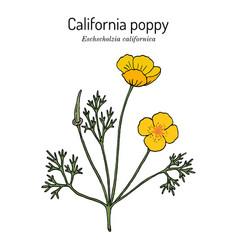 Golden poppy or cup gold eschscholzia vector