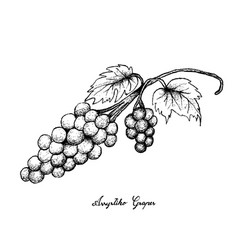 Hand drawing of fresh juicy assyrtiko grapes vector