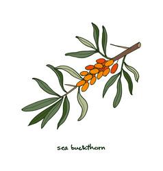 sea buckthorn berries vector image