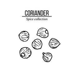 Spice collection coriander seed hand drawn vector