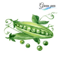 Watercolor green pea vector
