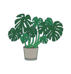 Monstera growing in planter tropical plant with vector