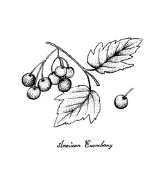 Hand drawn of american cranberries on white backgr vector