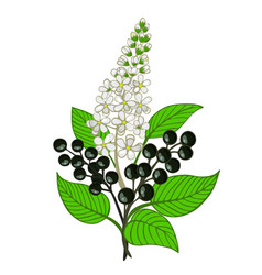 A bouquet of bird cherry branch with berries and vector