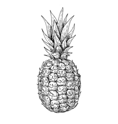 hand drawn pineapple Summer fruit engraved vector image
