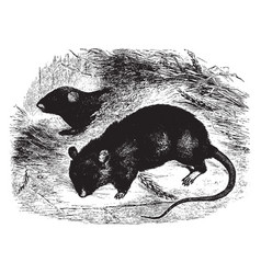 Black rat vintage vector