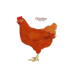 chicken hand drawn chicken meat vintage produce vector image