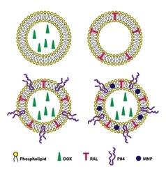 Liposomes Drug Delivery System Sheme vector