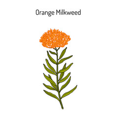 Orange milkweed asclepias tuberosa medicinal vector