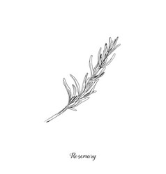 botanical rosemary branch vector image