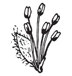 Black willow flower vintage vector