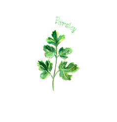 Parsley herb spice isolated on white background vector