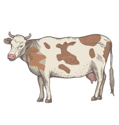 the spotted cow is standing vector image