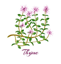 thymus banner for cosmetics vector image