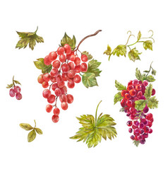 watercolor set of grapes hand-drawn wine berries vector image