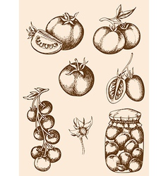 vintage hand drawn tomatoes vector image vector image