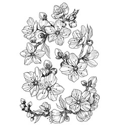 Almond blossom branch isolated on white vintage vector