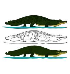 Brazilian common alligator in front view vector