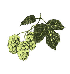 hand drawn hop plant vector image vector image