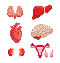 Human organ anatomy icon for medicine design vector