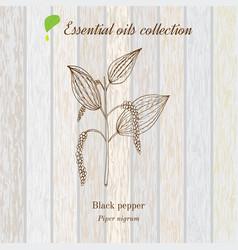 Black pepper essential oil label aromatic plant vector