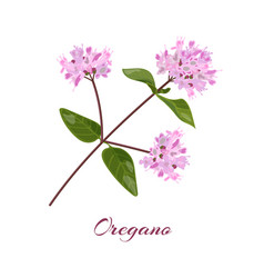 blossoming oregano flowers vector image