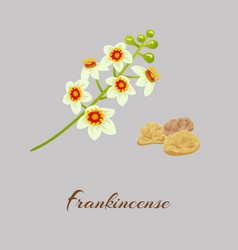 Boswellia tree flowers fankincense tree vector