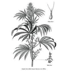 Cannabis sativa male tree botanical vintage vector
