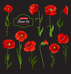 Poppy flower icon of red wildflower and green leaf vector