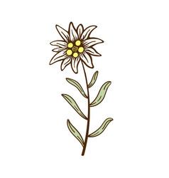 Edelweiss flower icon alpine icon flat web vector