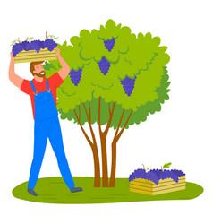 Man gathering grapes vineyard plantation isolated vector