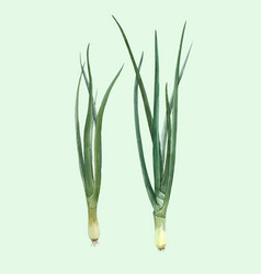 watercolor green onion vector image