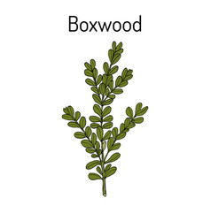 Boxwood buxus sempervirens or european box vector