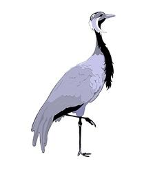Demoiselle crane vector