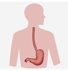 Stomach Image vector image vector image