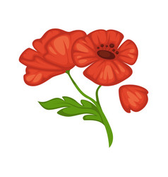 flower poppy blossom bud or bloom flat vector image