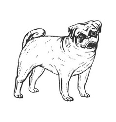 Pug dog engraving vector